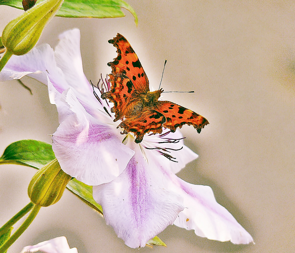 A comma butterfly. These are O.K.