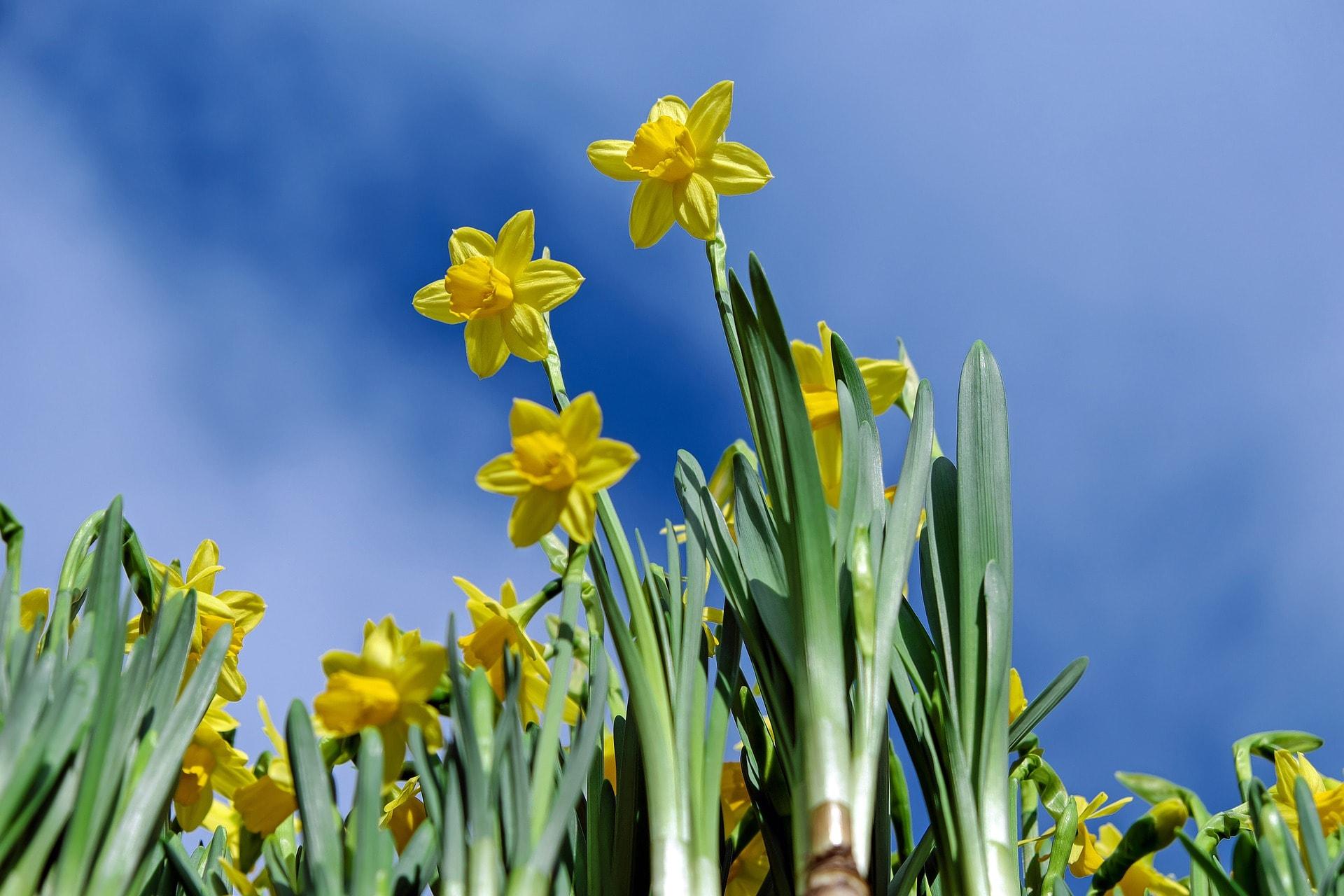 daffodils-2093307_1920-min